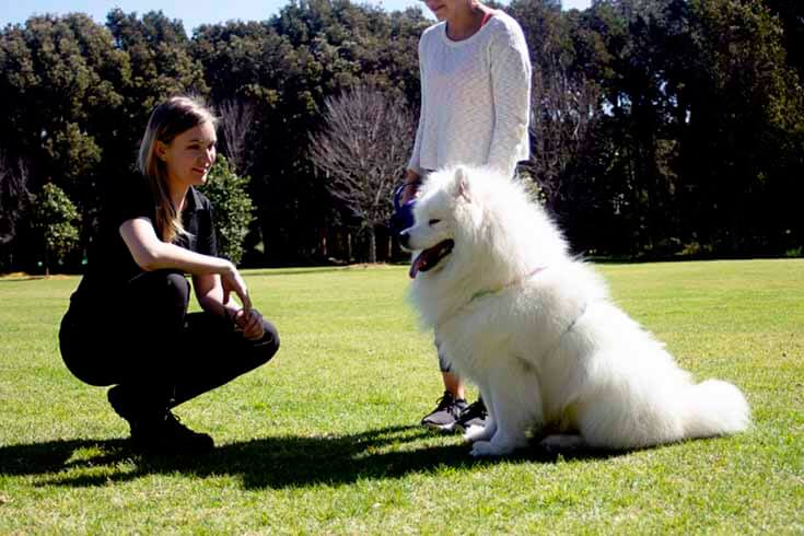 Private Consultation with Samoyed