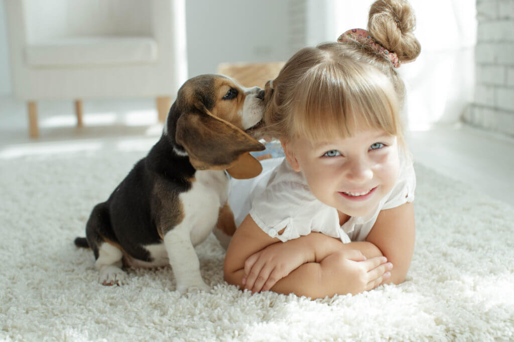 Naughty Beagle puppy chewing on girls hair